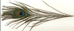 PEACOCK FEATHER W/EYE:50PC/BDL (MCN006)